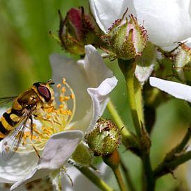 wesp op een witte bloem van W J Kok