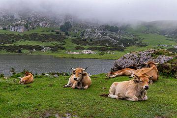 Bergkoeien nabij Lago Ercina in Picos de Europa van Easycopters