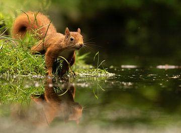 Eekhoorn met spiegelbeeld van Silvia Groenendijk