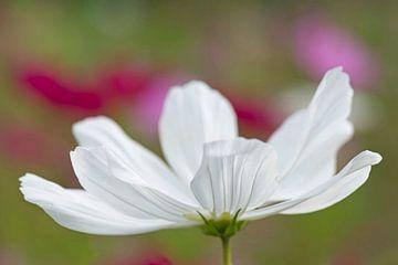 White anemone von