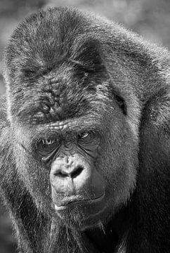 Gorille en Colère sur