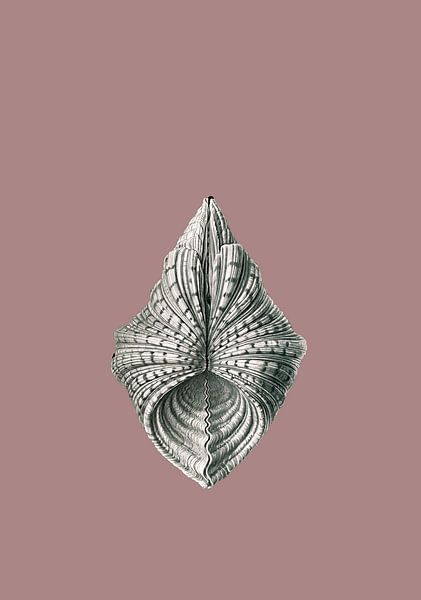 Ernst Haeckel, mossel, mollusk. Acephala, Muscheln van Liszt Collection