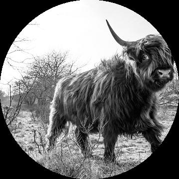 Schotse Hooglander Castricum Nieuwe bewerking. van Frank Slaghuis