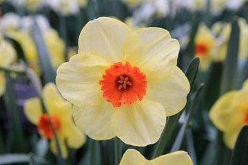 The Narcissus sur Cornelis (Cees) Cornelissen