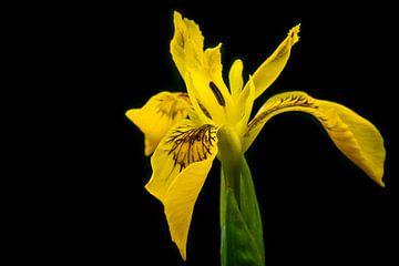 Iris Pseudacorus van William Mevissen