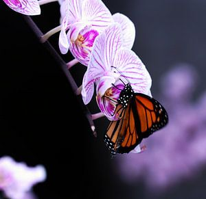 Vlinder op orgidee van