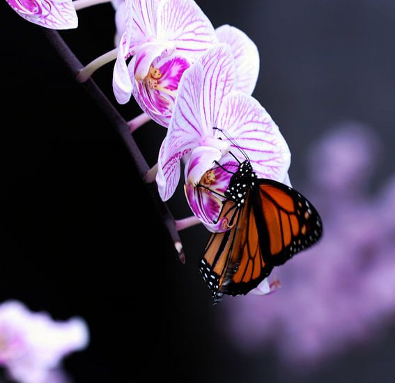 Vlinder op orgidee van Rick Nijman
