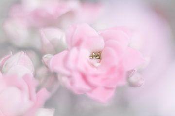 Roze kalanchoe van Vliner Flowers