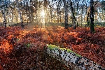 Gevelde berk in de herfst tussen de rode varens van