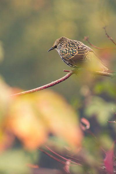 lijsterbes (vogel) op tak II van Geke Woudstra