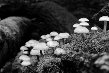 Eine Gruppe von Pilzen in schwarz-weiß. von Gerard de Zwaan