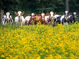 7 Koeien