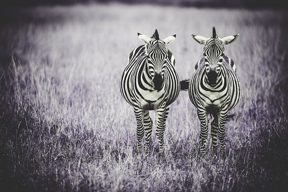 Samen naast elkaar - zebra