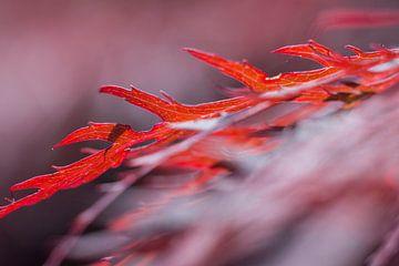 rode Japanse esdoorn van Geert-Jan Timmermans