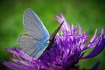 Vlinder von René Perdok