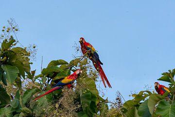 Papegaai (Geelvleugel Ara)  Costa Rica van Merijn Loch
