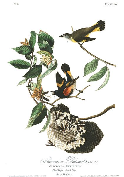 Amerikaanse Roodstaart van Birds of America