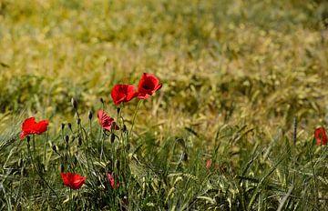 Roter Mohn auf dem Feld von Ulrike Leone