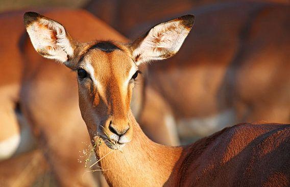 Impala - Africa wildlife