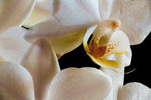 Binnen in een witte orchidee