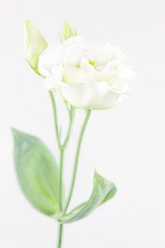 """""""High key"""" Blume farbe 5 von Albert Mendelewski"""