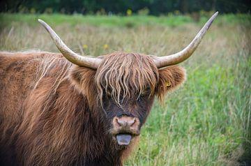 Schottischer Highlander von Ans Bastiaanssen