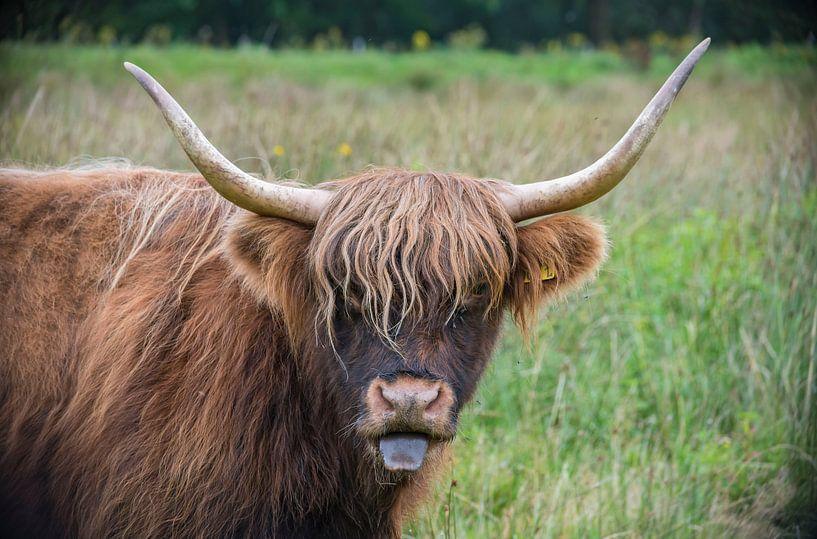 Schotse Hooglander van Ans Bastiaanssen