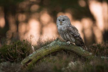 Ural Owl ( Strix uralensis ) at sunrise van wunderbare Erde