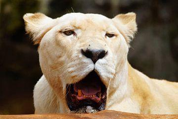 witte leeuw  van