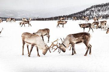 Rentierherde auf Norwegisch - Lappland von Henrike Schenk