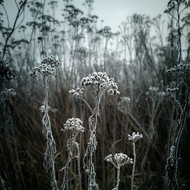 Reif von Paul Glastra Photography