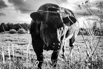 Kuh von Niels Hemmeryckx
