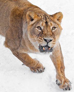 le regard méchant et prédateur des yeux jaunes, le rugissement menaçant de la bouche aux dents entro sur Michael Semenov