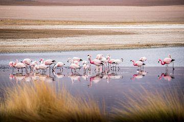 Bolivianische Andenflamingos von Jelmer Laernoes