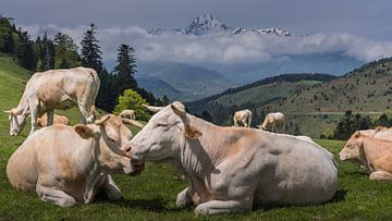 Kühe in den Pyrenäen von Koos SOHNS   (KoSoZu-Photography)