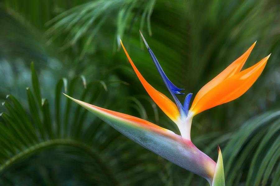 Bird of paradise flower van Thomas Herzog