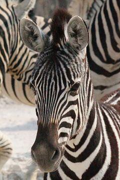 Jonge zebra van Erna Haarsma-Hoogterp