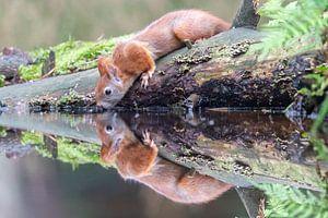 Reflectie van een rode eekhoorn van Sven Scraeyen