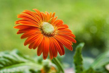 Oranje bloem tegen groene achtergrond van Victor van Dijk