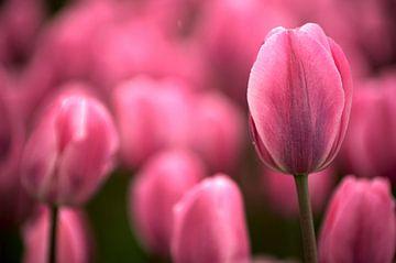 Tulip pink echoes van