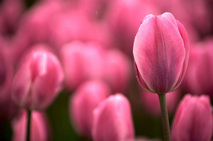 Tulip pink echoes van Mike Bing
