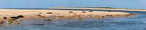 Robben ruhen auf einer Sandbank bei Ameland