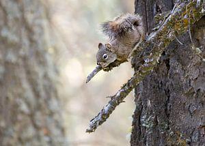 Nieuwsgierige eekhoorn van