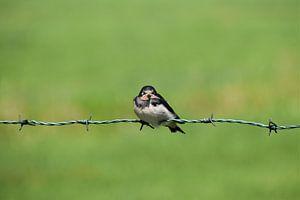 Zwaluw op prikkeldraad van
