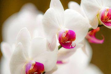 orchidee 13 von John van Weenen