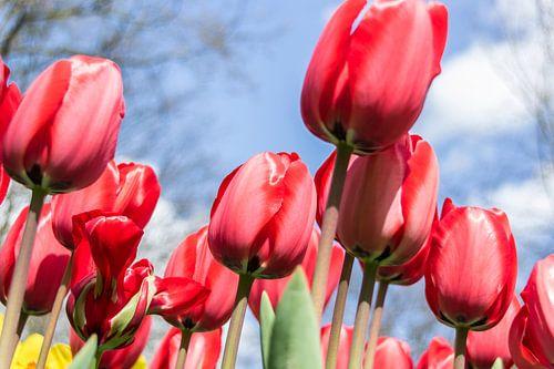 Rode tulpen van Sander RB