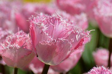 Roze tulp met gekartelde randen