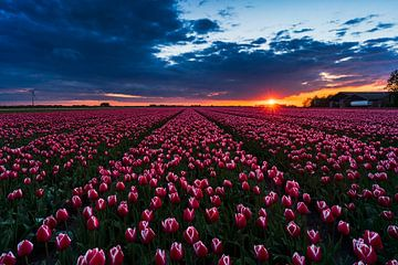 Sonnenuntergang Tulpenfeld von Rick Kloekke