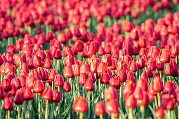 Blumenzwiebelfeld mit roten Tulpenzwiebeln. von Albert Beukhof