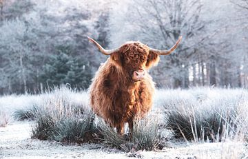 Schotse Hooglander winter van Tineke Oving